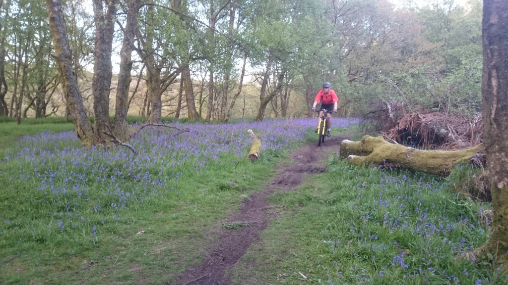 Bluebells at Mugdock